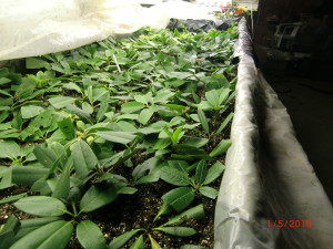 Cuttings in bench 1/5/15.  Covering plastic pulled back.